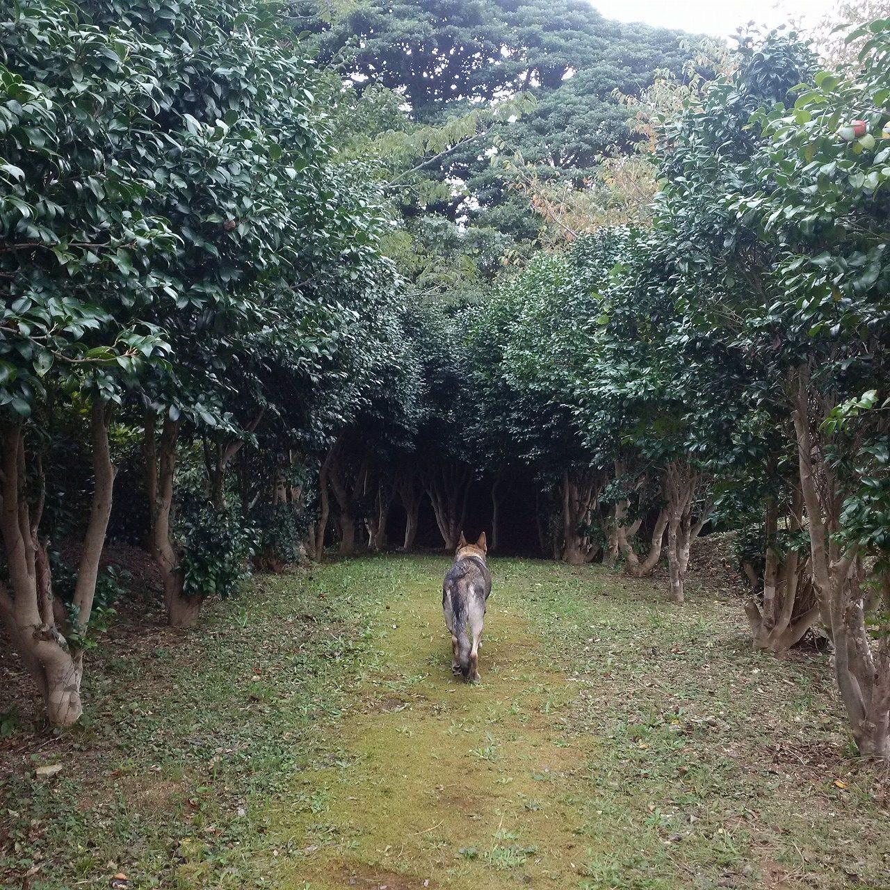 一度入ったら出れなさそうな森の中に入っていくジャーマンシェパード