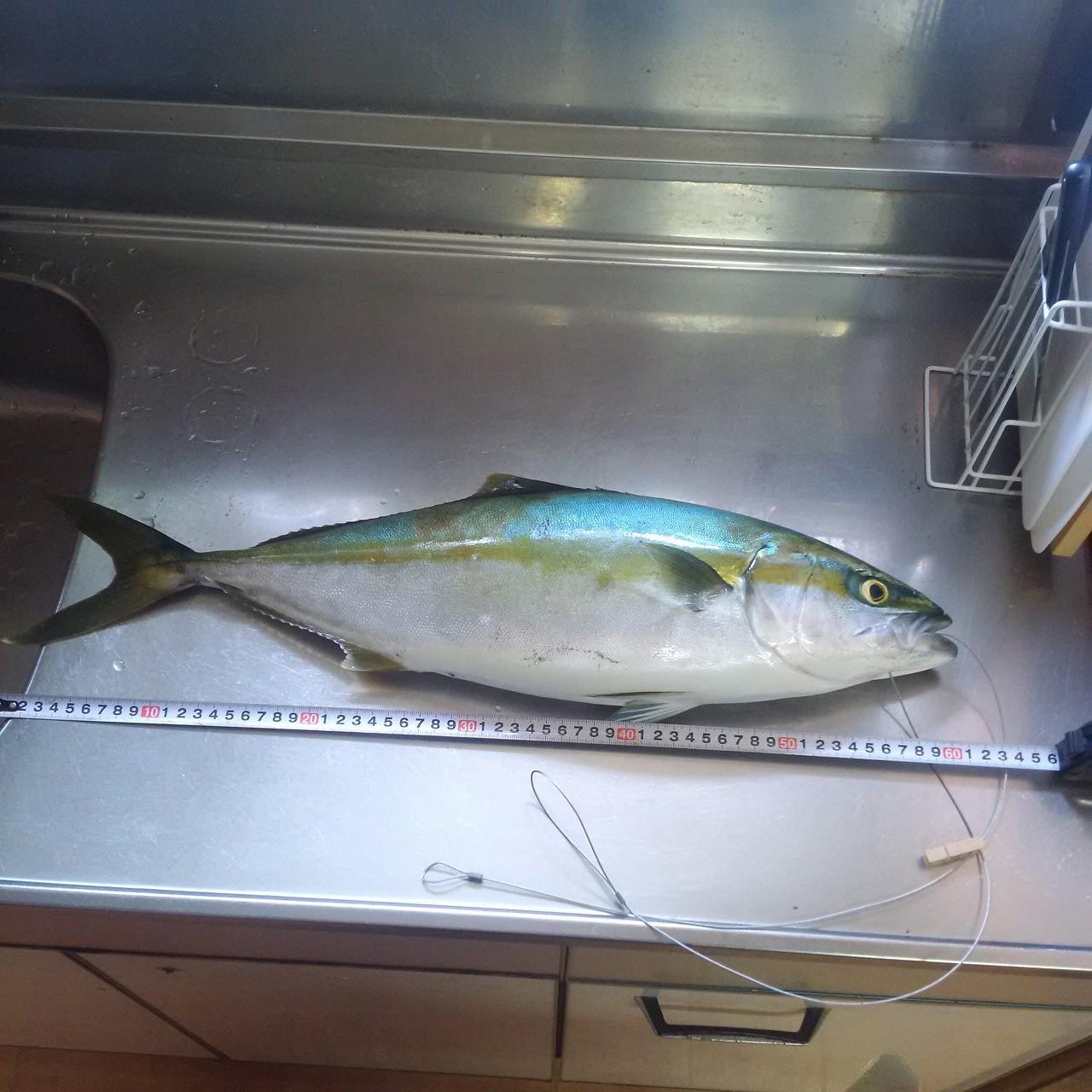 能登半島で魚突き|60㎝のヒラマサを突いてみた