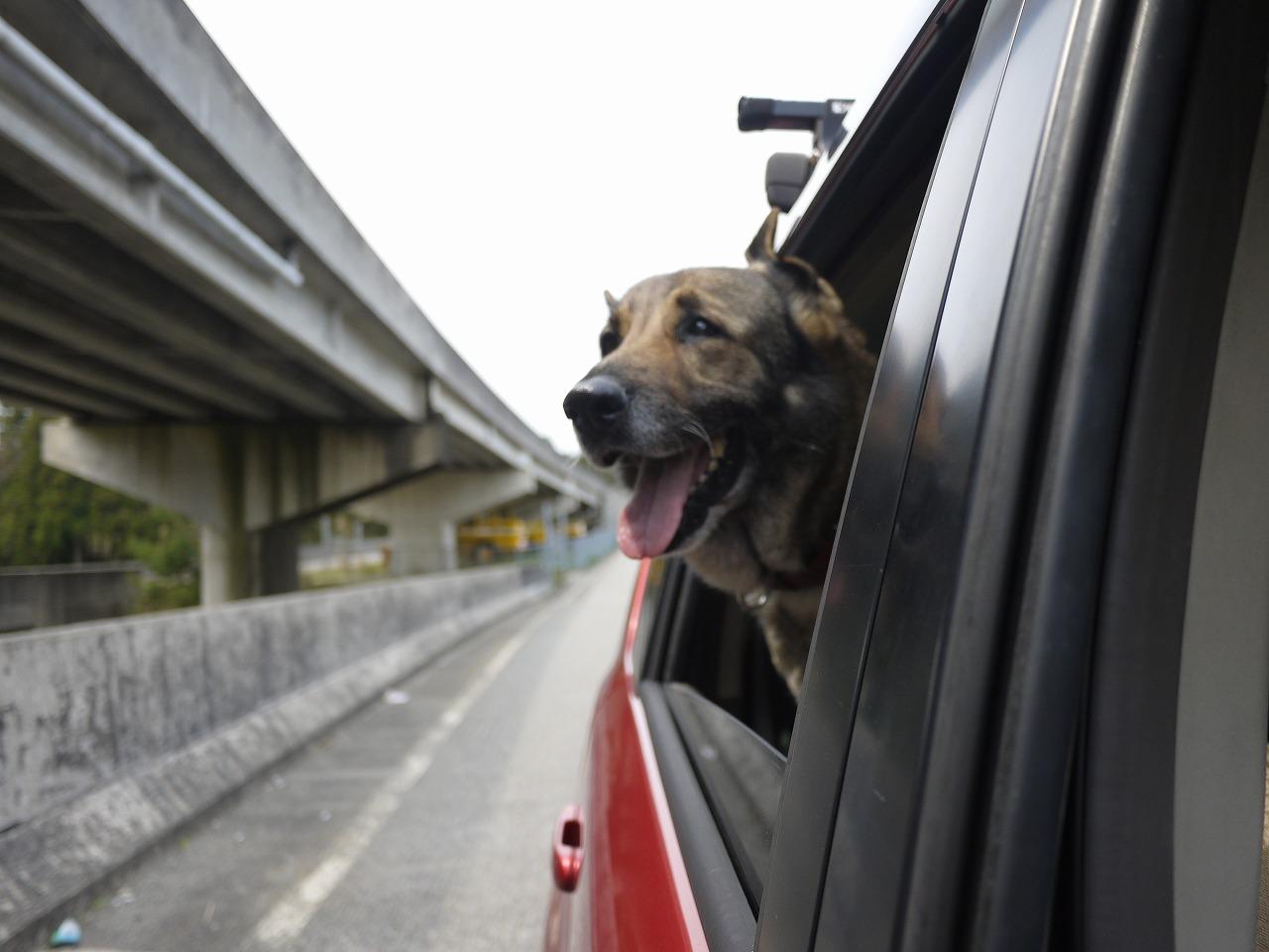 【簡単】犬を車好きにするには子供の頃から車に乗せて散歩に行くだけ
