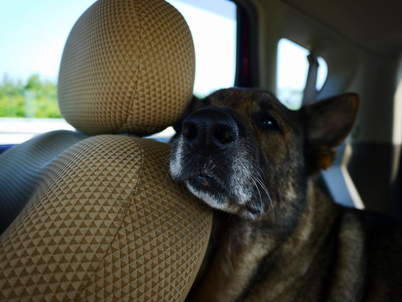 【休まらない】車に慣れたシェパードはこんなに自由に寝る事が出来る