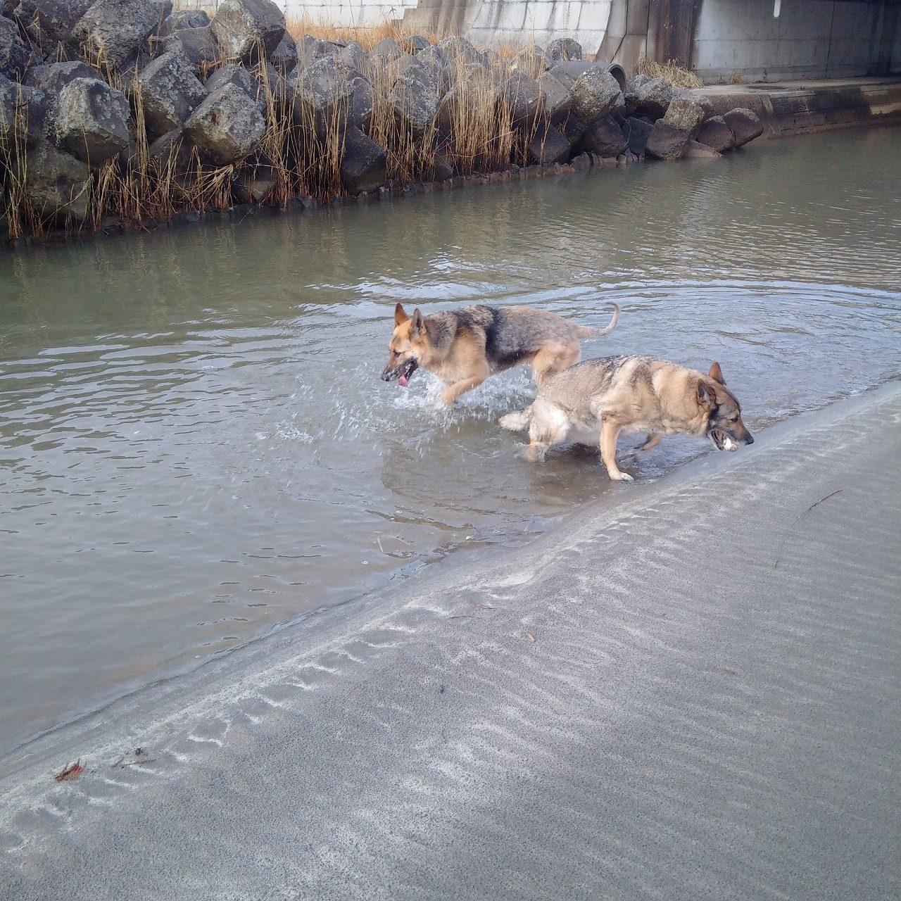 昨年末から一番冷たい海水だと言うのにじゃぶじゃぶ海水に入っていくジャーマンシェパード
