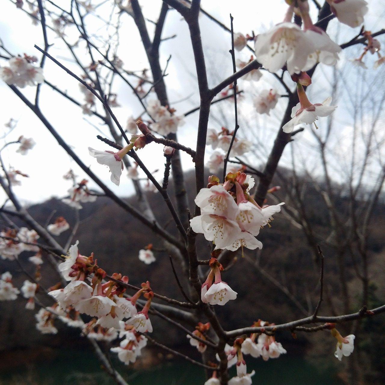 間垣(まがき)を作っていたらいつの間にか奥能登にも桜の季節がやってきた
