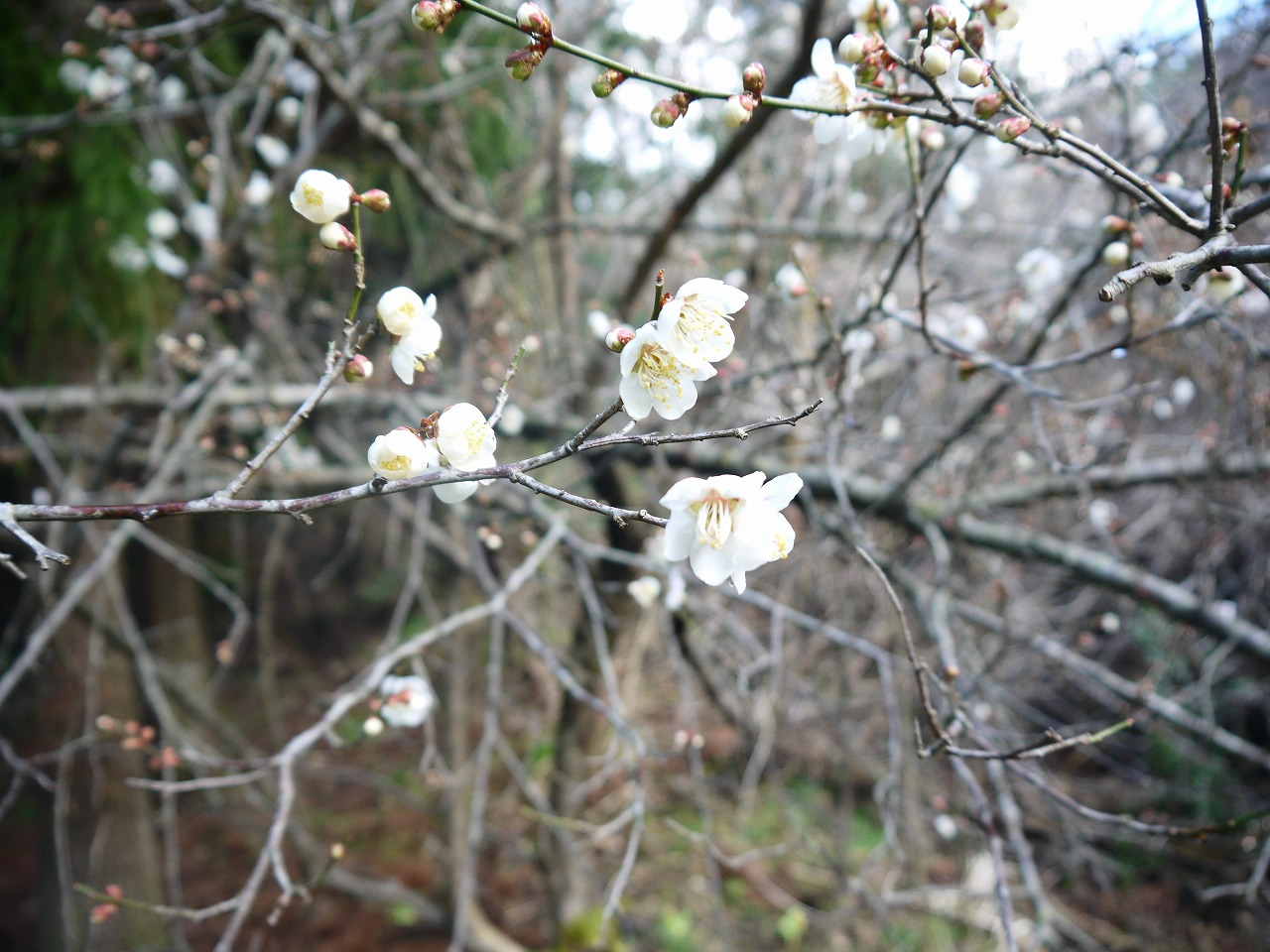 山に行ったら梅の花が咲いていて小さい足跡も見つけた