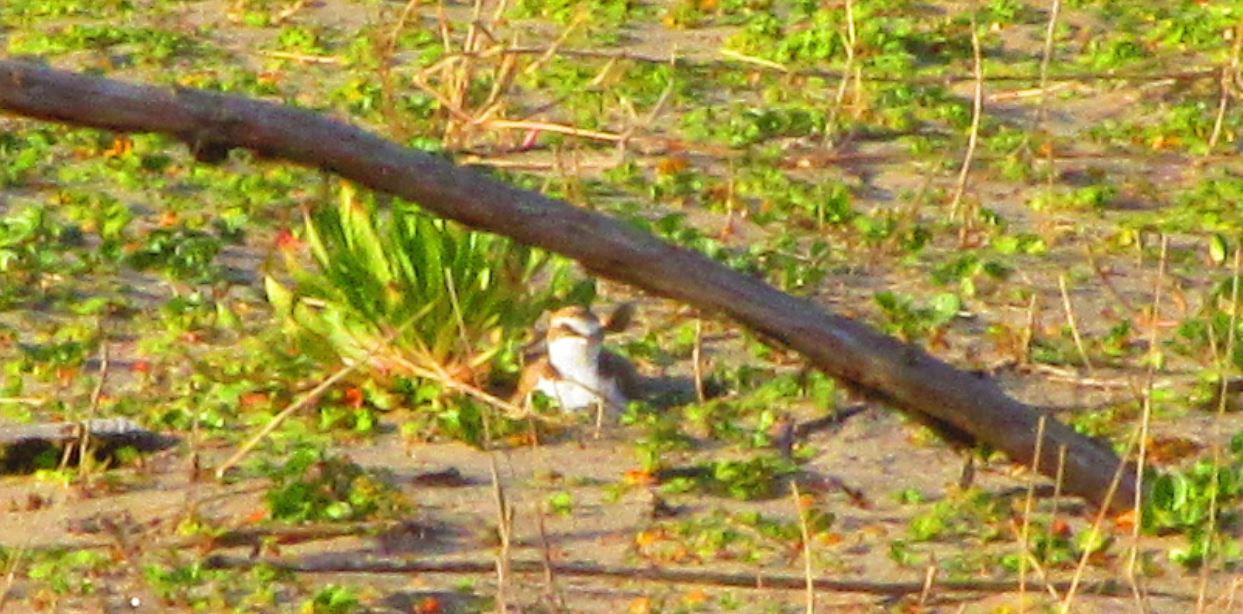 浜辺の鳥の卵の正体がわかった!浜辺の気になるを解決