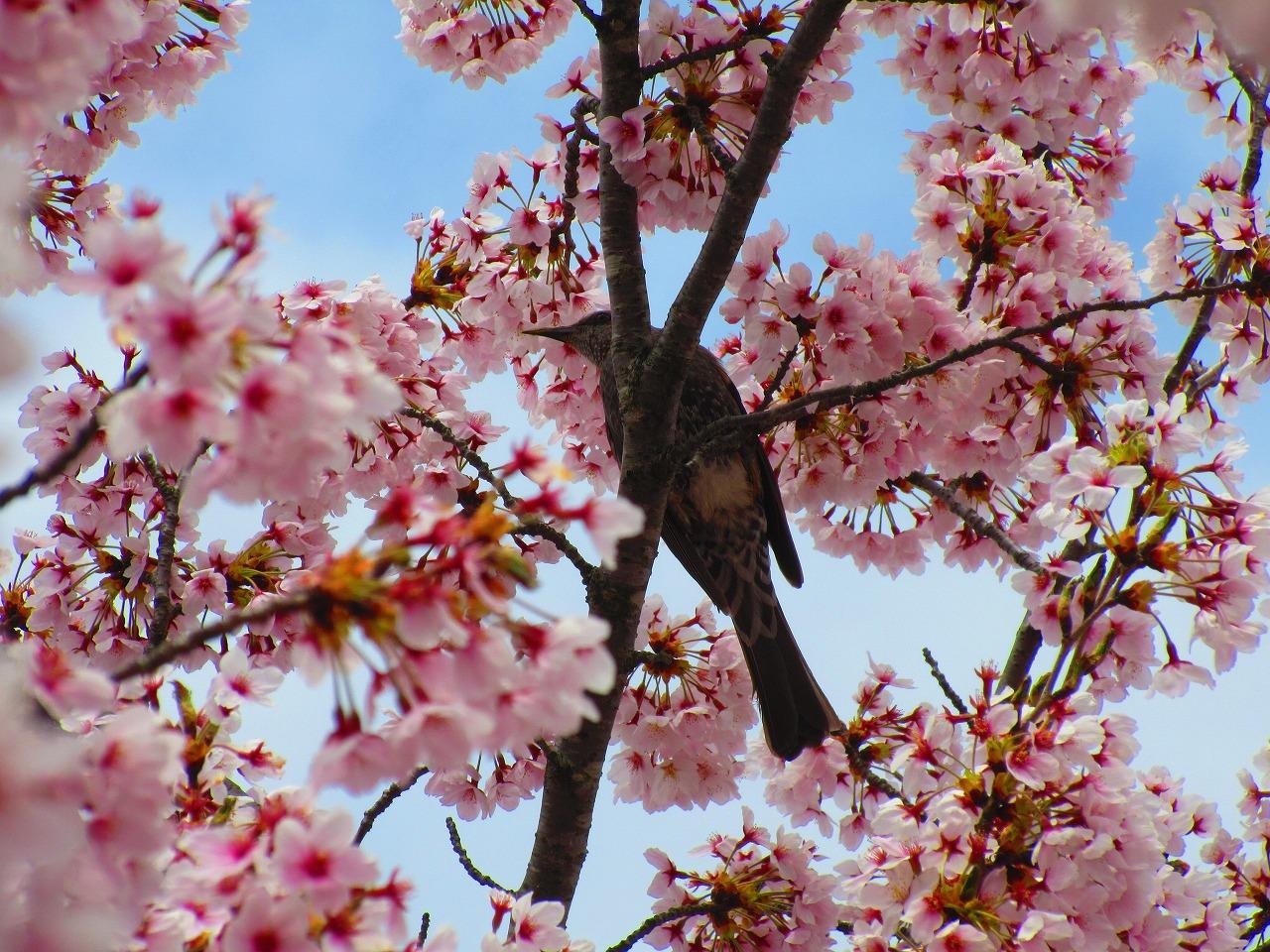 桜満開今がお勧め!能登町の柳田植物公園に行ってきた。