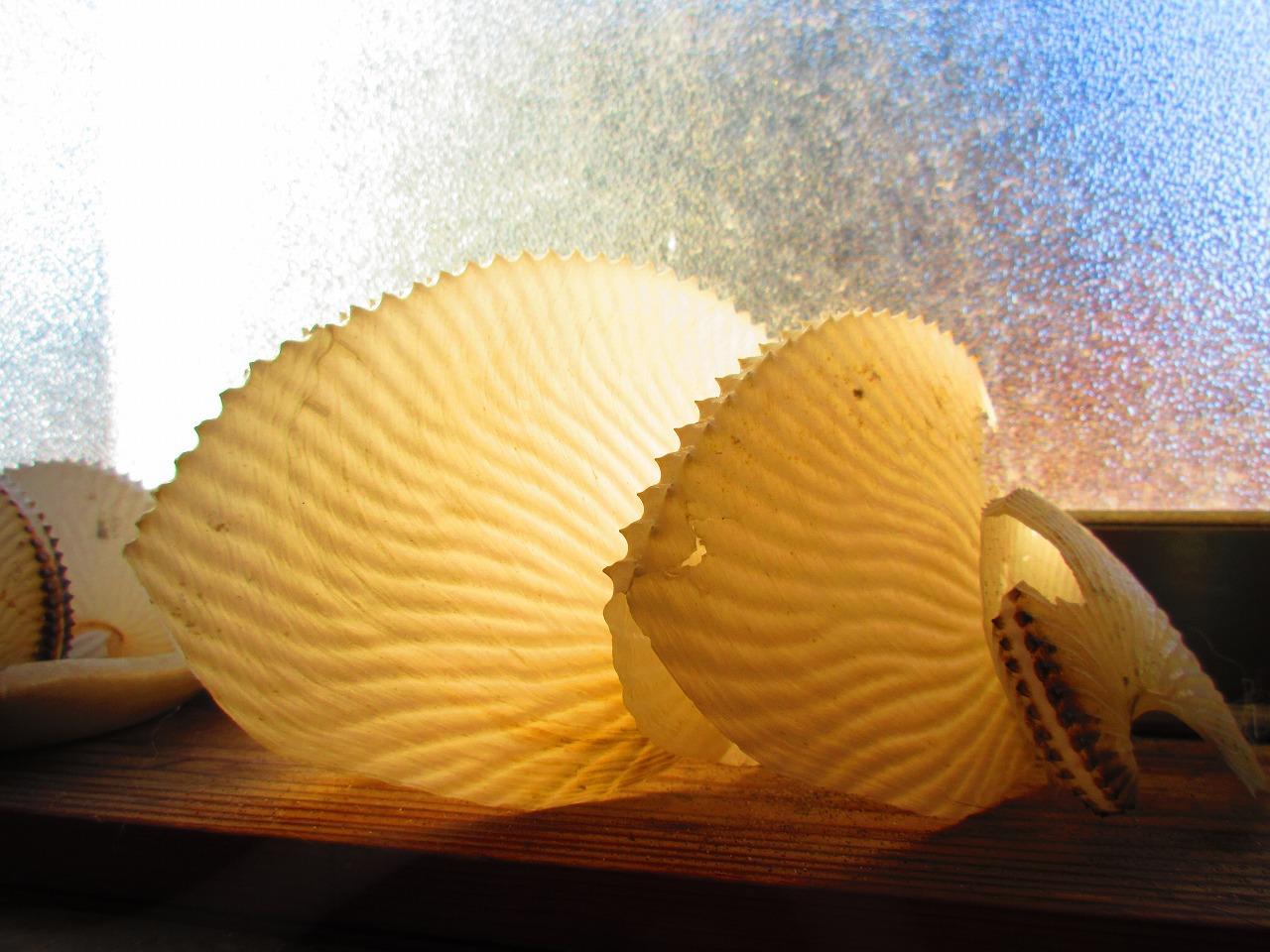 浜辺を歩いていたらアンモナイトのような貝が漂着している