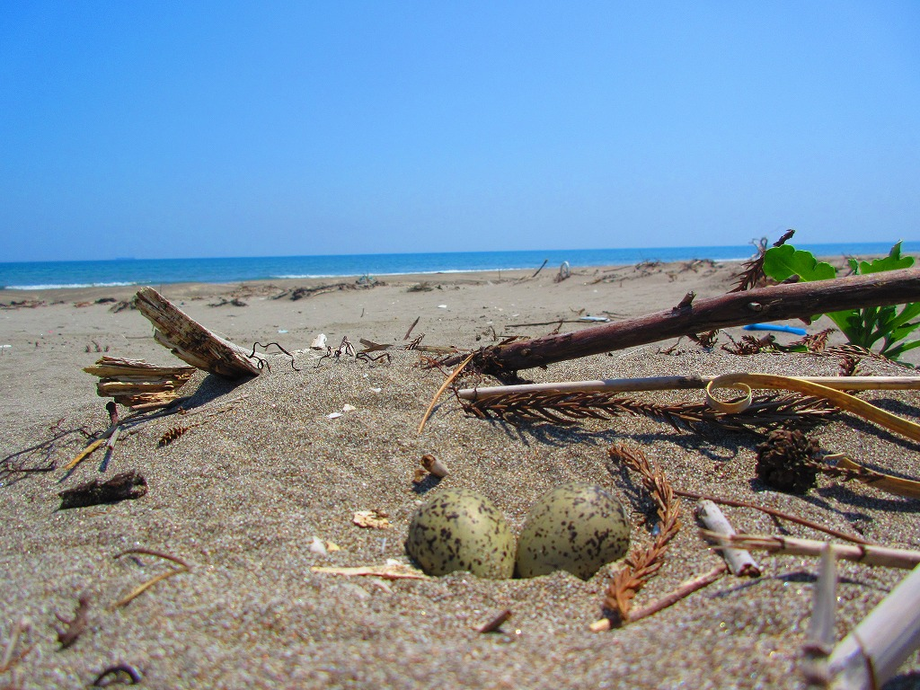 浜辺にあるうずらの卵の様なものを見つけるのが上手くなった