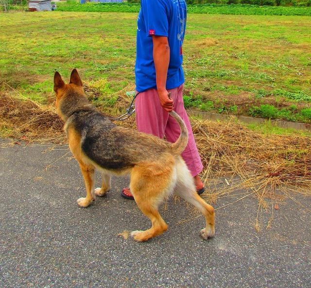 雄のシェパードの尻尾が上に巻いているので歩く時に丁度良く掴める犬