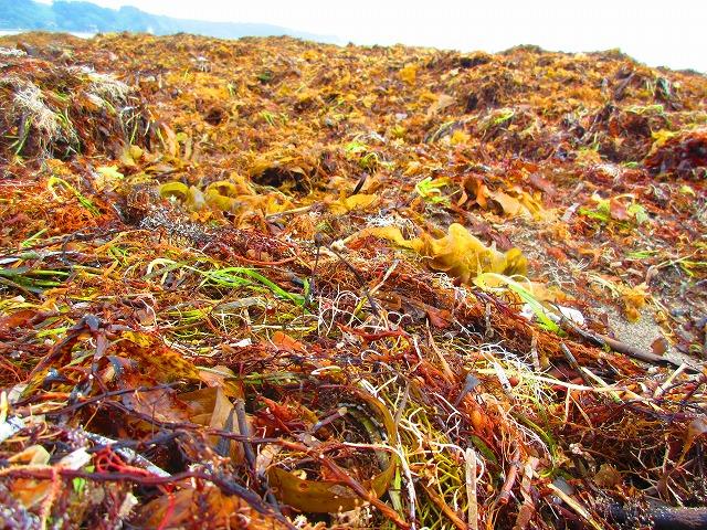 【能登外浦の海岸は海藻だらけ】打ち上げられた海藻は採っても大丈夫
