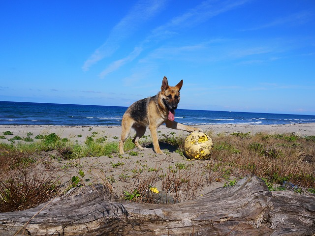 浜辺の浮きで遊ぶシェパードが「ボールは友達」って言ってるようだ
