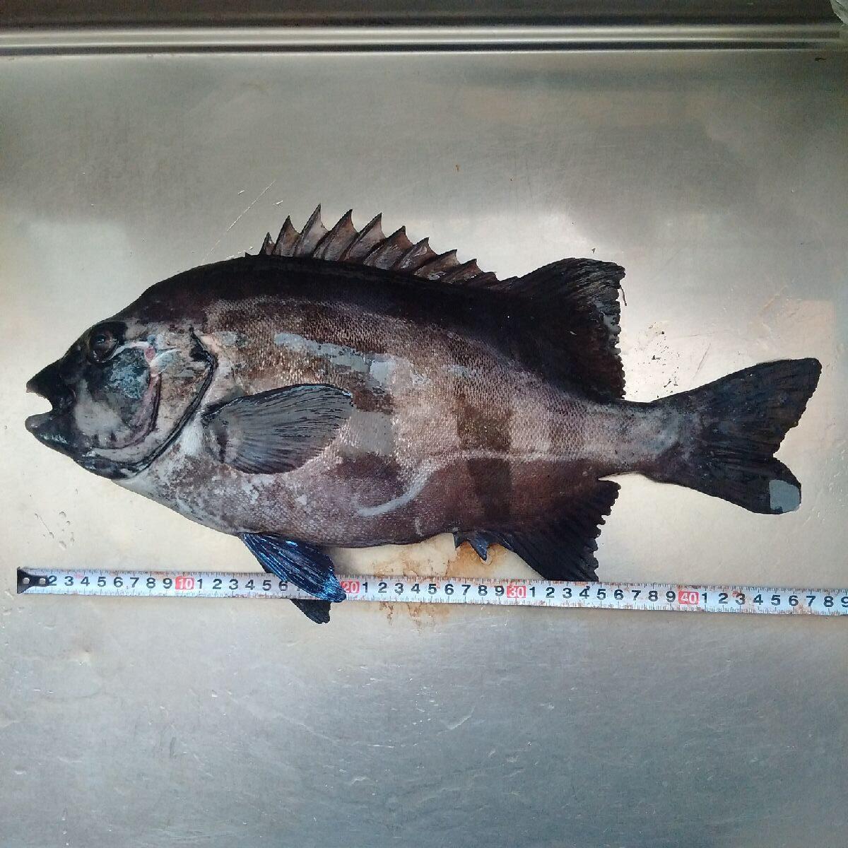 【能登で魚突き】近所から貰った野菜だけでイシダイのカルパッチョ