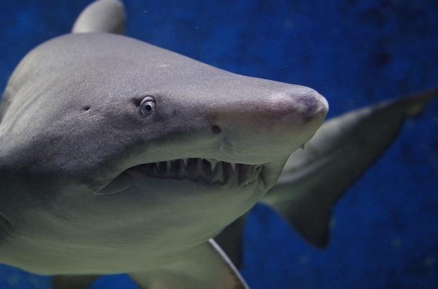 【能登で魚突き】能登で魚突きしていたら4mのサメが現れはたかれた