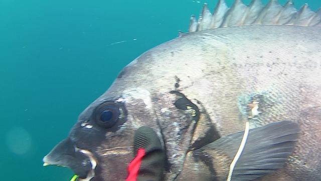 【能登で魚突き】イシダイとキジハタを突いたが突きもカメラも未熟