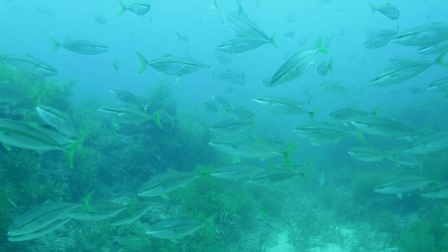 【能登半島魚突き】鳥山の下はヒラマサの大群が暴れていた