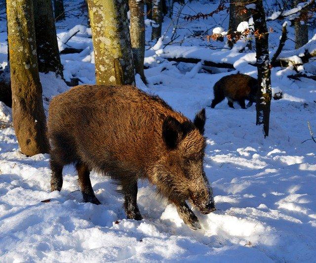 奥能登の猪被害に対する行政の動きと民間の動きと猪の動き